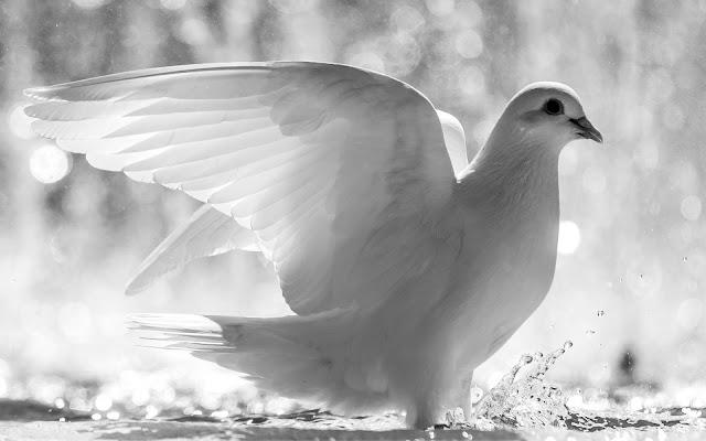 Zwart wit foto witte duif