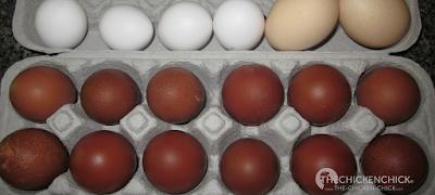 Black Copper Marans eggs