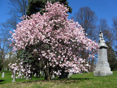 Blooming Leonard Messel magnolia at Mount Pleasant Cemetery by garden muses: a Toronto gardening blog
