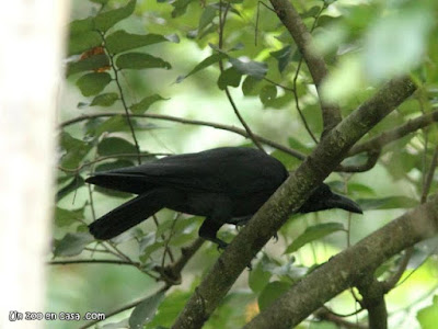 Corvus macrorhynchos - Large-billed Crow