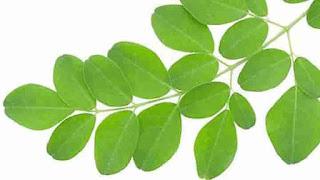 Daun kelor yaitu tumbuhan dengan ranting yang dipenuhi dedaunan kecil yang tersusun rapi 9 Manfaat Daun Kelor Untuk Kesehatan