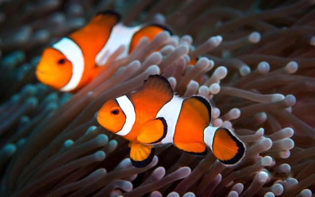 Dunia Ikan Hias - Badut Clownfish