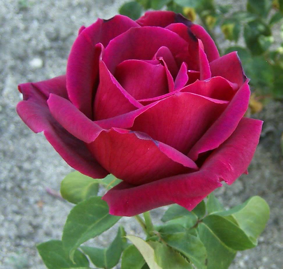 Rosa Indica - Flowers
