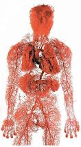 pembuluh darah manusia lengkap: arteri, vena, aorta, arteriol, dll