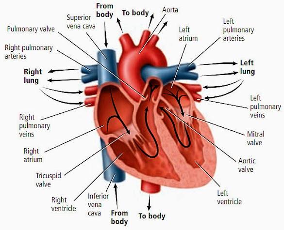 Faktor Penyebab Penyakit Serangan Jantung