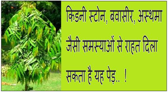किडनी स्टोन, बवासीर, अस्थमा जैसी समस्याओं से राहत दिला सकती है यह पेड़