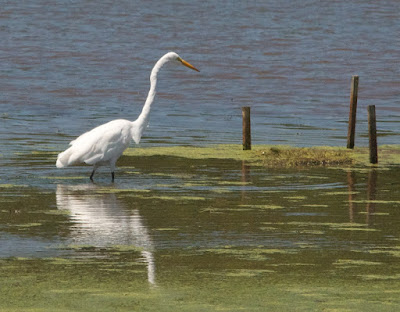 Great Egret (Area alba)
