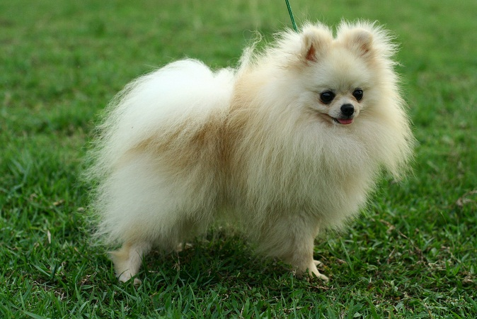 pomeranian life span dog breed picture pomeranian dog pictures 9710