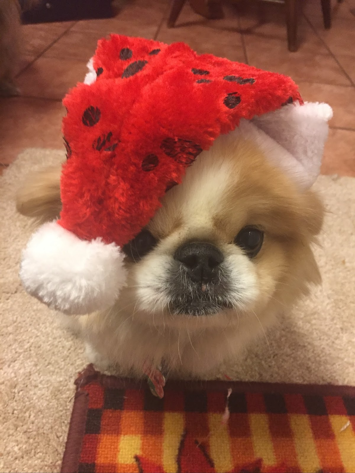 Must Love Pekes: STARLIGHT IS NOT READY FOR CHRISTMAS!
