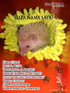 haiwan peliharaan, eksotik, hedgehog, comel