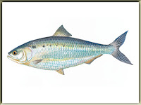 American Shad Fish Pictures