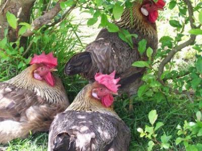 κότες και αυγά