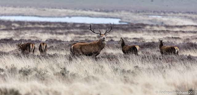 A large stag with a group of younger deer on the moor.
