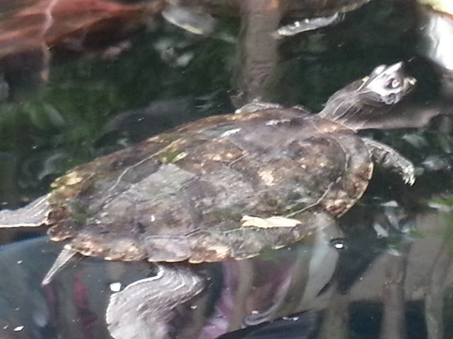 A turtle swimming at Bristol Aquarium