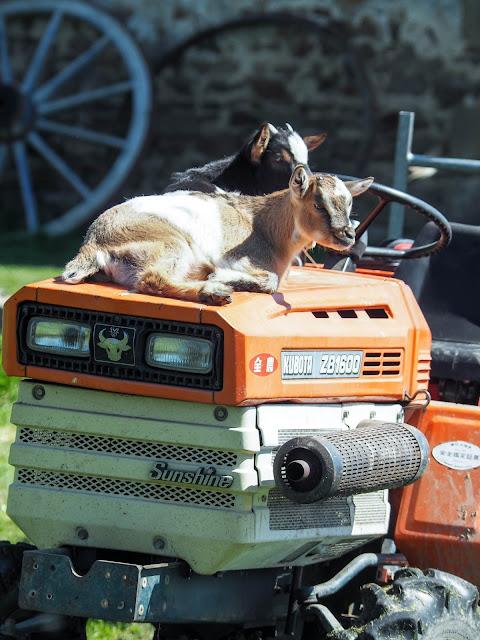 babygeitjes op tractor