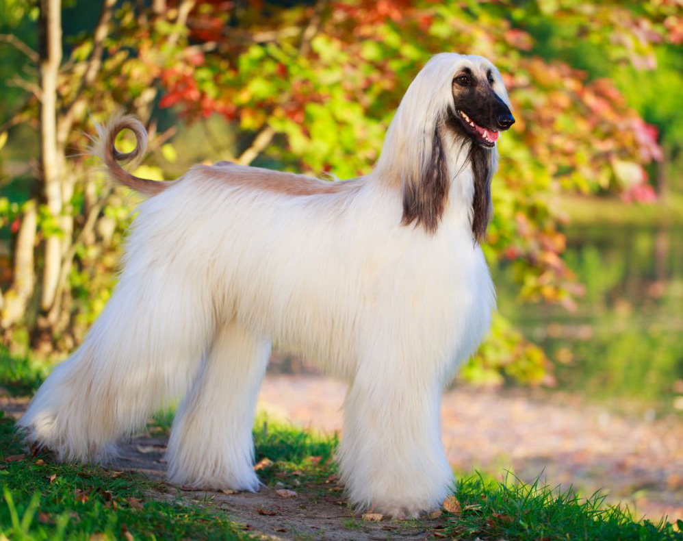 Afghan Hound  Breed Profile  Australian Dog Lover