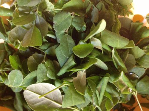 Feuille de moringa, légume khmer
