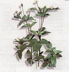 Khasiat Tanaman Herbal Ajeran