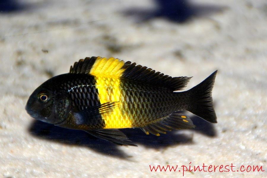 Gambar moorii Kiriza Jenis Ikan Hias Air Tawar Warna Belang Kuning Hitam