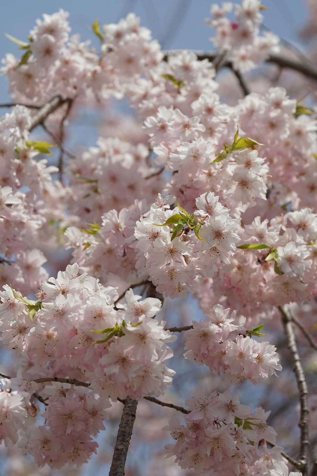 遅咲きの枝垂桜