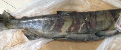 Jual Cepat Salmon Frozen Chile