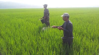 Anggota Koramil 09/Pituruh Dampingi Petani di Desa Kalimati Dalam Tebar Pemupukan Tanaman Padi