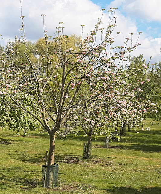 A row of apple trees all in flower