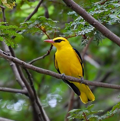Indian golden oriole - Oriolus kundoo