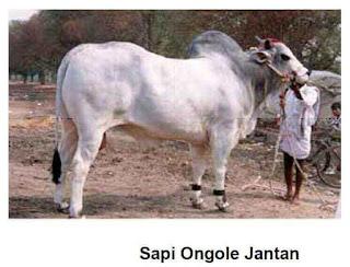 Jenis Sapi Ongole, Ciri dan Karakteristiknya
