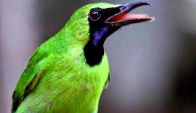 Download suara burung cucak ijo Mp3