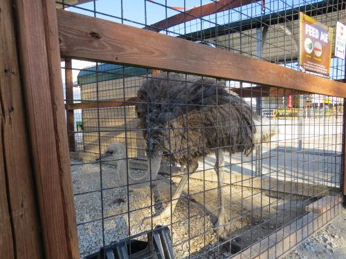 ostrich in a petting zoo