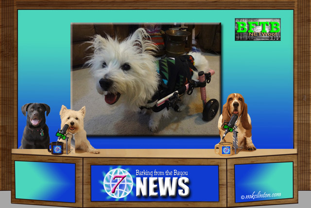 BFTB NETWoof Dog News with Westie using a walker