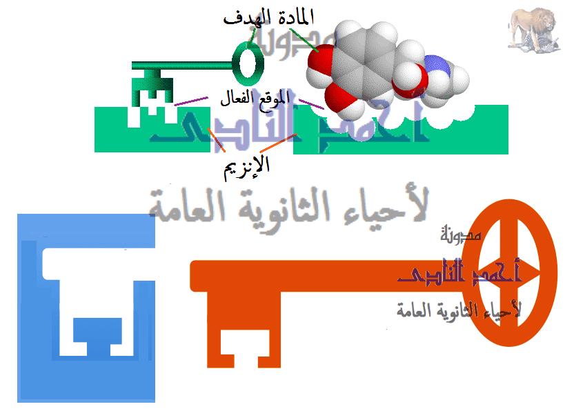 الإنزيمات - متخصصة - القفل والمفتاح - مدونة أحمد النادى- أحياء الثانوية العامة