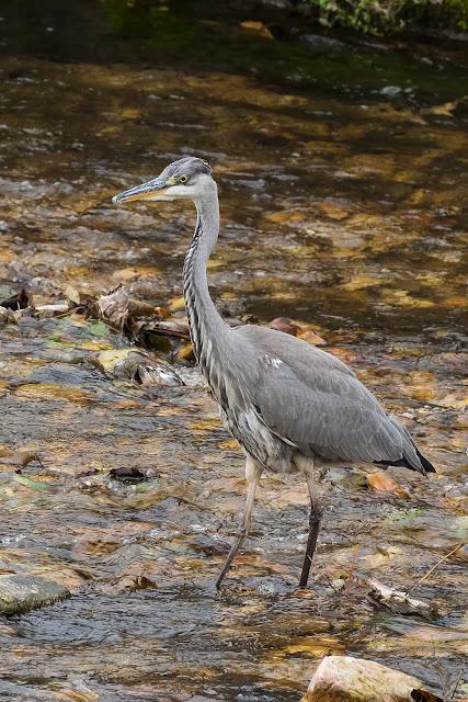 Garza Real cazando en el río Nonaya en Cornellana, Salas. Asturias naturaleza