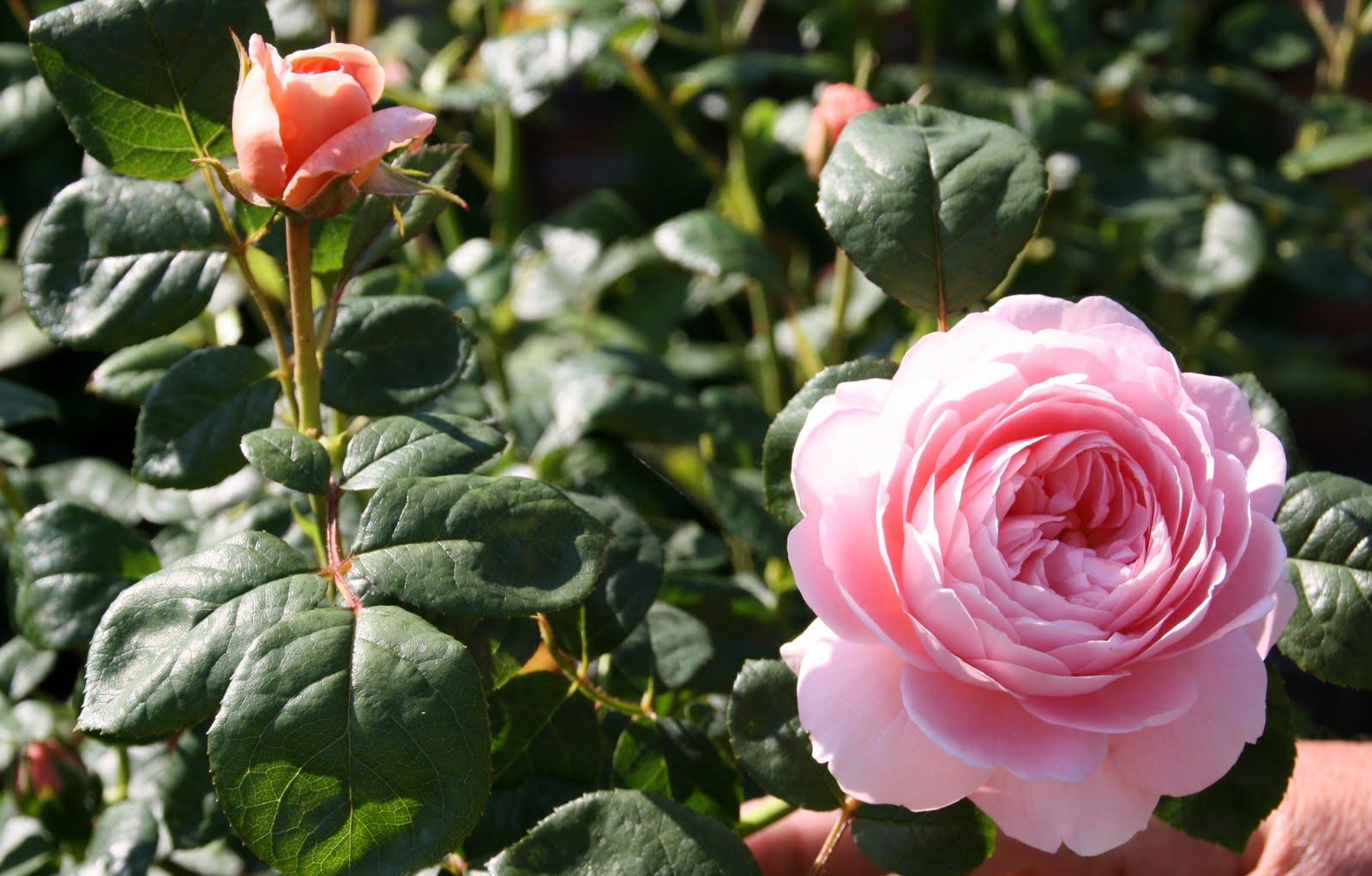 rose af marcipan