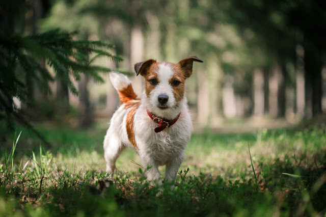 How often should a dog be trained for the best results? Dogs like this lovely Jack Russell in the park are very trainable.