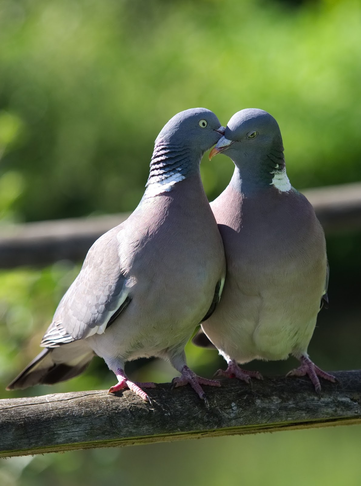 Picture of a pair of pigeons.