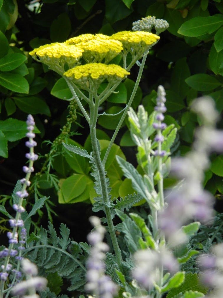 Yellow yarrow Toronto Botanical Garden by garden muses-not another Toronto gardening blog