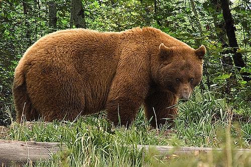 أضخم انواع الدببة في العالم