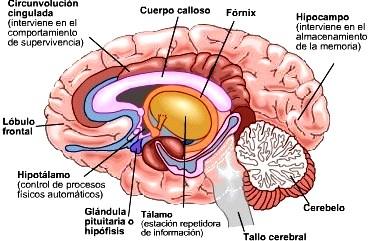Dibujo del cerebro del cuerpo humano indicando sus partes