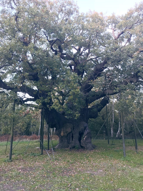 The major oak tree, a large oak tree supported by scaffold