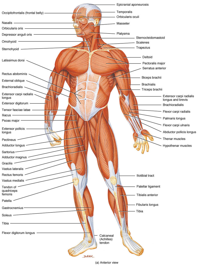 Human Muscles What Is Their Function Ency123