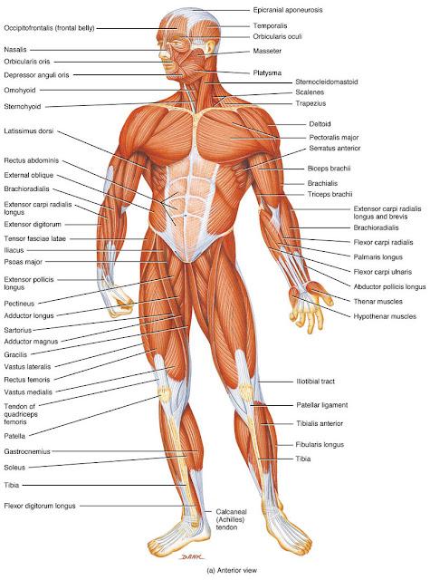 Biologi: Fungsi Otot pada Manusia - Pe Jung Labs