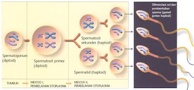 Pembelahan meiosis dari spermatogenium sampai menjadi spermatozoa