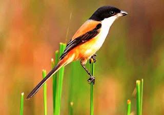 gambar foto burung pentet kepala blangkon