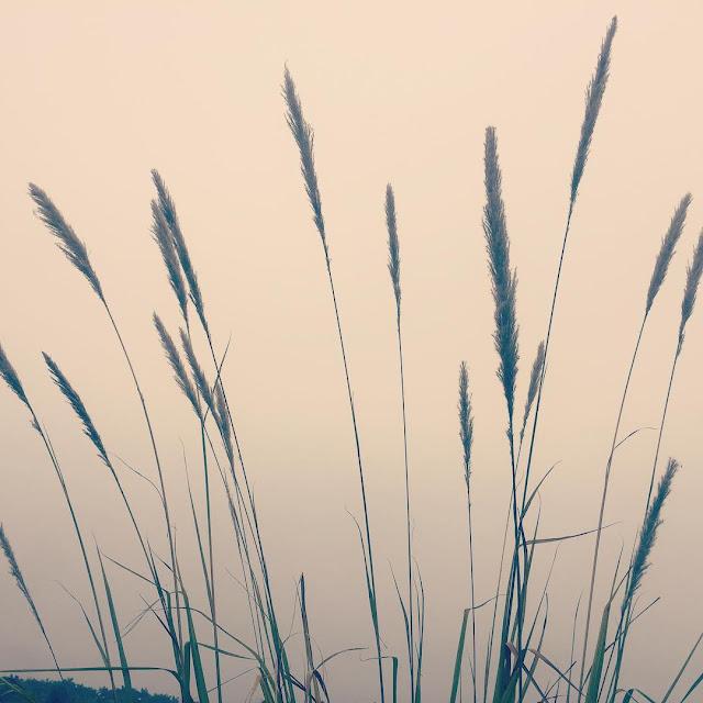 """""""Dịu dạng"""" bộ hình ảnh hoa cỏ lau mộc mạc giản dị trong gió"""