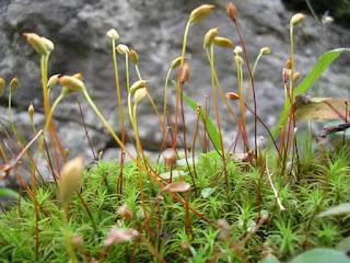 ciri-ciri tumbuhan lumut, contoh, klasifikasi, manfaat