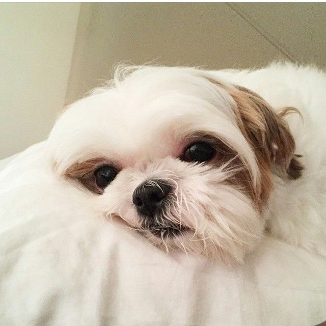Shih tzu fica isolado dos outros cães