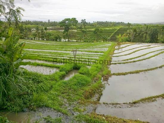 terraced paddy fields in Bali