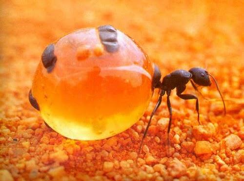 Formiga-Pote-de-Mel (Myrmecocystus sp.)